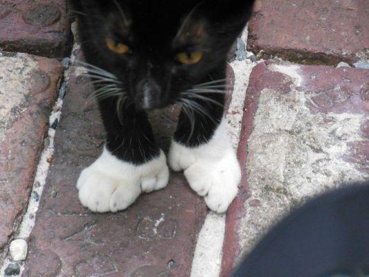 Katten met zes tenen op Key West